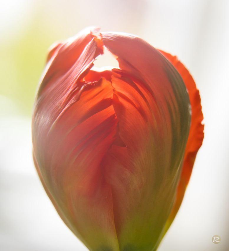 tulip closeup tabletop colorful image